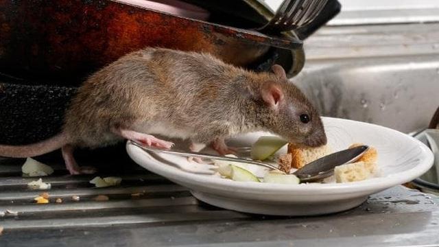 Du khách hoảng sợ trước thảm họa chuột to như mèo hoành hành - 2