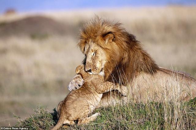 """Những khoảnh khắc có thật của """"Vua sư tử"""" trong thế giới tự nhiên - 5"""