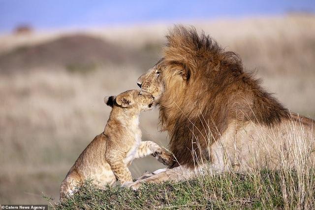 """Những khoảnh khắc có thật của """"Vua sư tử"""" trong thế giới tự nhiên - 2"""