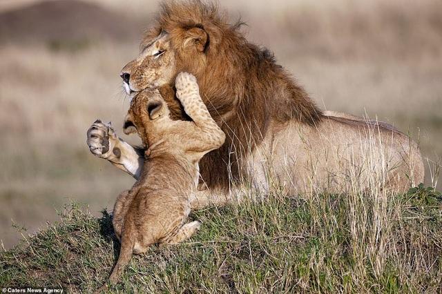 """Những khoảnh khắc có thật của """"Vua sư tử"""" trong thế giới tự nhiên - 1"""
