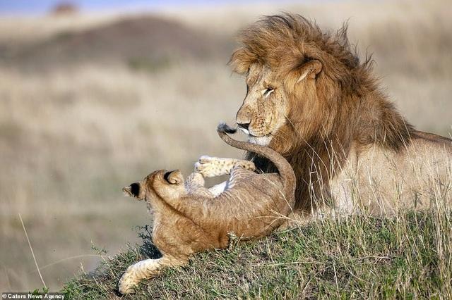 """Những khoảnh khắc có thật của """"Vua sư tử"""" trong thế giới tự nhiên - 3"""