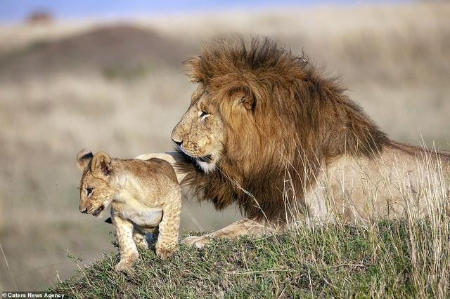 """Những khoảnh khắc có thật của """"Vua sư tử"""" trong thế giới tự nhiên - 4"""