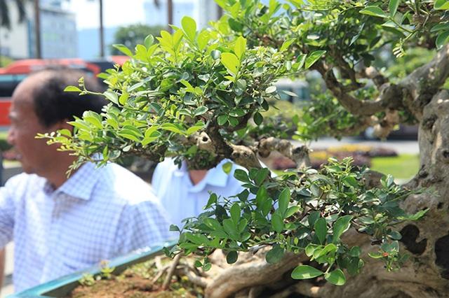 Siêu phẩm nguyệt quế cổ thụ dáng thác đổ đẹp nhất Việt Nam có giá tiền tỷ - 13