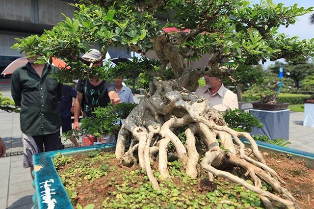 Siêu phẩm nguyệt quế cổ thụ dáng thác đổ đẹp nhất Việt Nam có giá tiền tỷ - 8