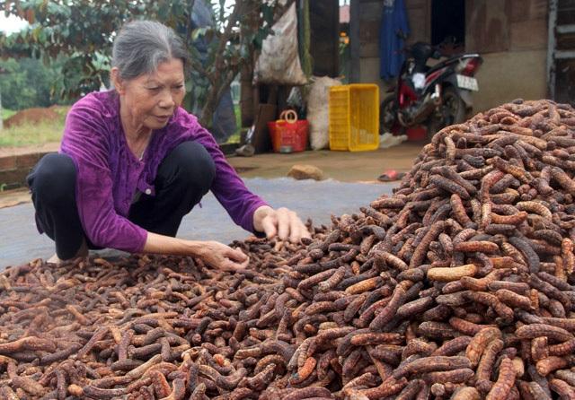 Nghề hái ra tiền khủng ở Đắk Nông: Săn chuối hột rừng đại bổ - 2