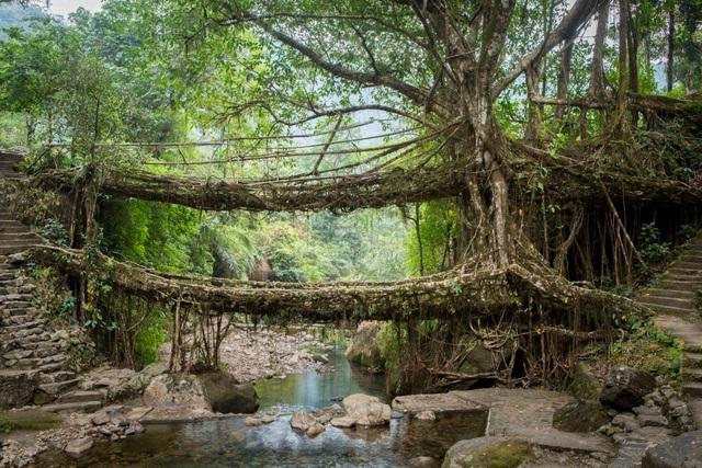 """""""Cây cầu sống"""" đan bằng rễ cây, tồn tại cả trăm năm vẫn dùng tốt - 1"""