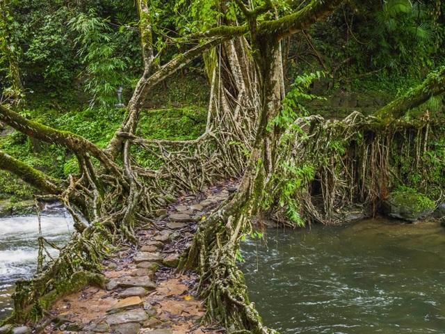 """""""Cây cầu sống"""" đan bằng rễ cây, tồn tại cả trăm năm vẫn dùng tốt - 2"""