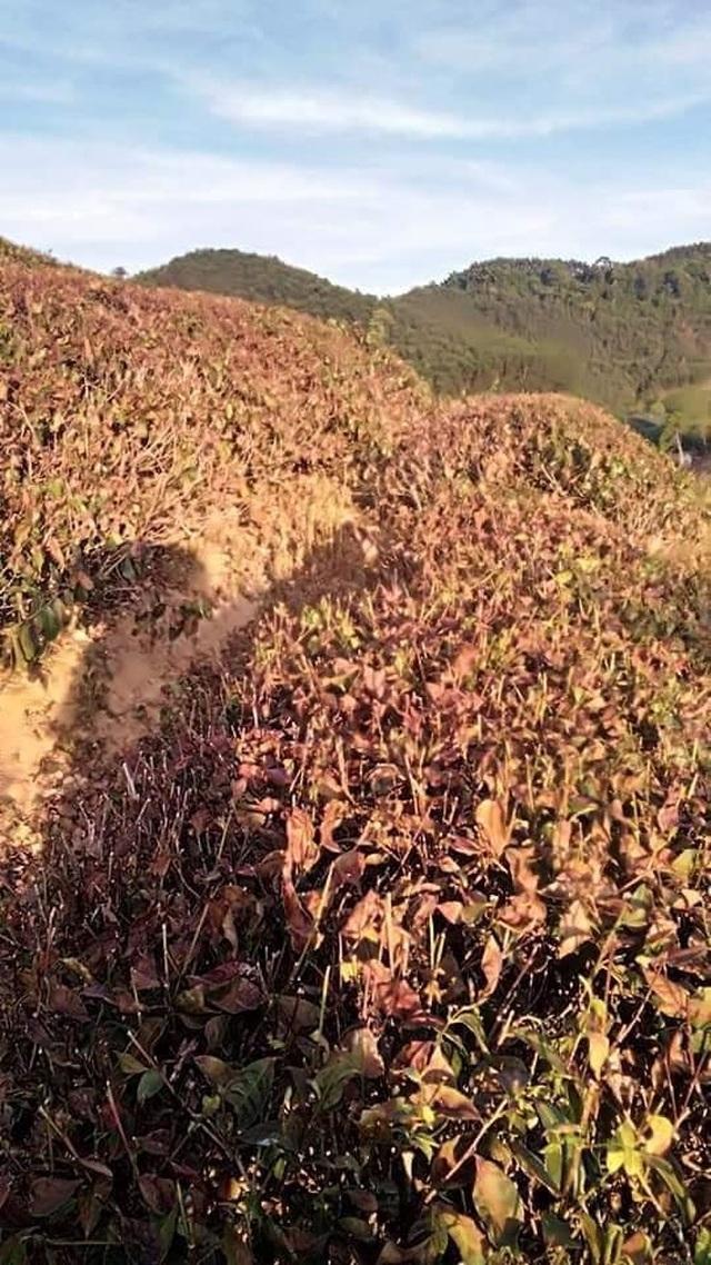 Nắng nóng như đổ lửa, hàng trăm ha chè chết cháy nông dân xứ Nghệ điêu đứng - 4