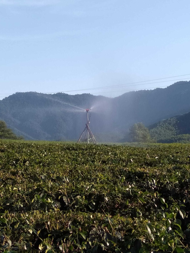 Nắng nóng như đổ lửa, hàng trăm ha chè chết cháy nông dân xứ Nghệ điêu đứng - 9