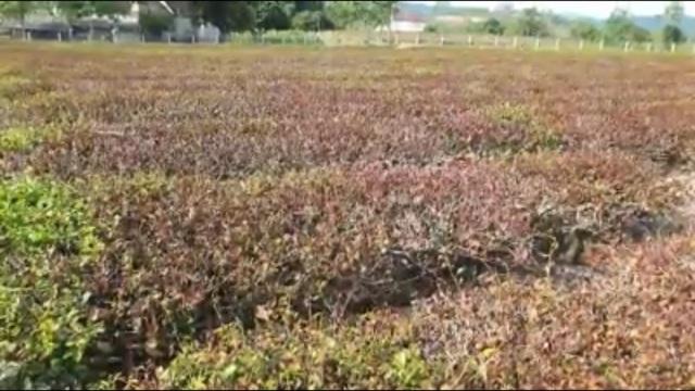 Nắng nóng như đổ lửa, hàng trăm ha chè chết cháy nông dân xứ Nghệ điêu đứng - 3
