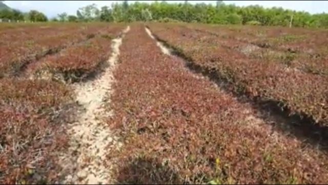 Nắng nóng như đổ lửa, hàng trăm ha chè chết cháy nông dân xứ Nghệ điêu đứng - 2