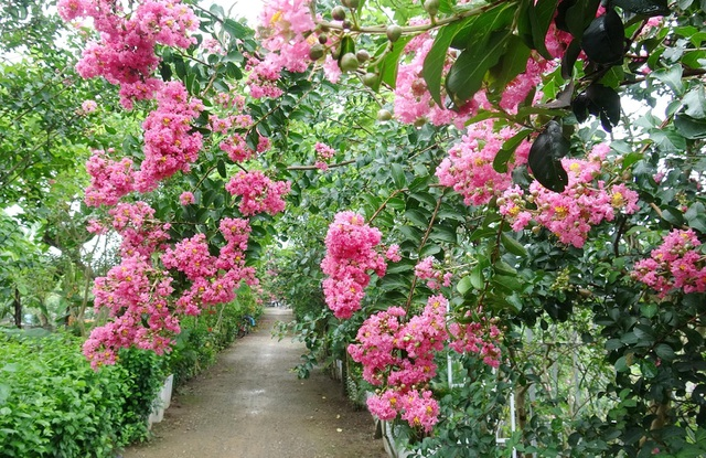 Phát sốt với con đường hoa tường vi đẹp như mơ ở Hà Nội - 1