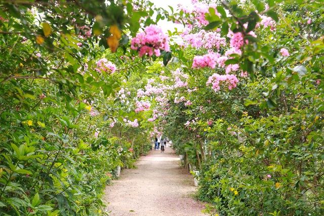 Phát sốt với con đường hoa tường vi đẹp như mơ ở Hà Nội - 2