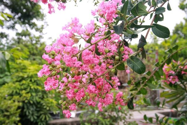 Phát sốt với con đường hoa tường vi đẹp như mơ ở Hà Nội - 4
