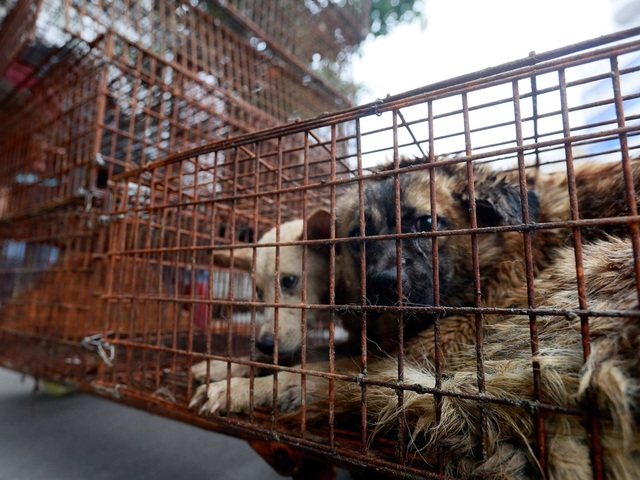 Hàng triệu người ký đơn đề nghị chấm dứt lễ hội thịt chó - 1