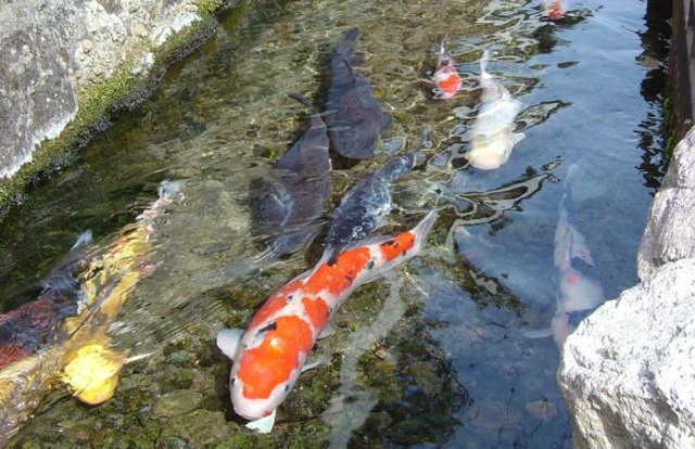 Đến nơi sạch tới mức hàng nghìn con cá sống khỏe dưới rãnh nước thải - 2