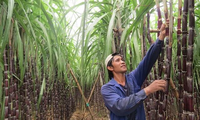 """""""Ông trùm"""" ngành mía đường hoàn tất việc trả 410 tỷ đồng cổ tức - 3"""