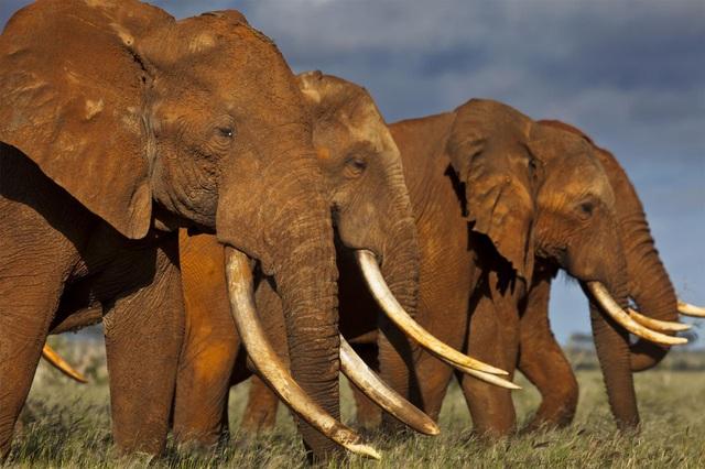 Kinh tế khủng hoảng, Zimbabwe liên tục rao bán voi, ngà voi, sừng tê giác - 1