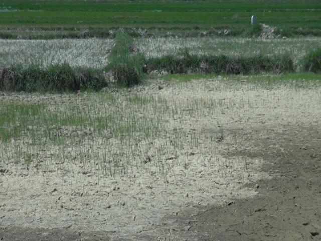 Miền Trung hạn hán kéo dài, đập cạn, người khát, ruộng khô - 4