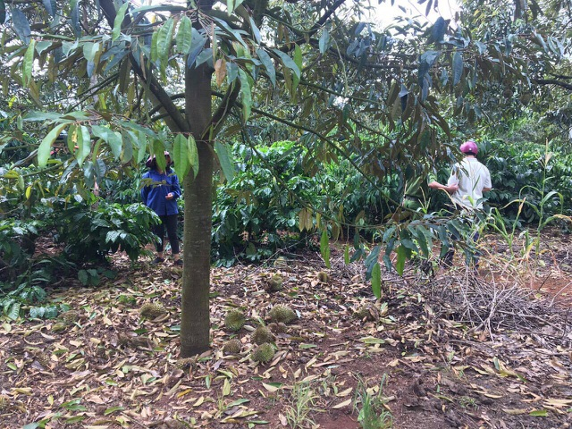The suspicion of the Durian Garden is poisonous, over 300 million VND - 1