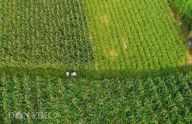 Cặp chị em trồng rau bí, bỏ túi tiền triệu mỗi ngày ở đảo hoang giữa Thủ đô - 1