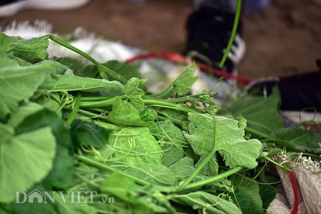 Cặp chị em trồng rau bí, bỏ túi tiền triệu mỗi ngày ở đảo hoang giữa Thủ đô - 11