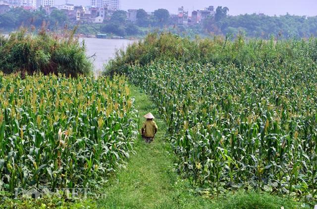 Cặp chị em trồng rau bí, bỏ túi tiền triệu mỗi ngày ở đảo hoang giữa Thủ đô - 2