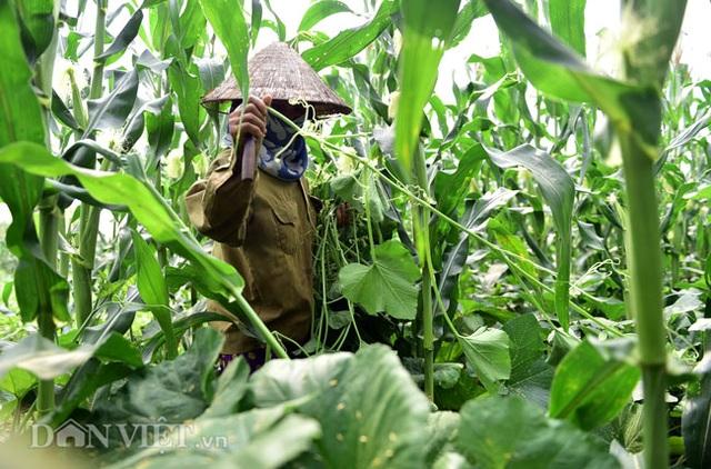 Cặp chị em trồng rau bí, bỏ túi tiền triệu mỗi ngày ở đảo hoang giữa Thủ đô - 3