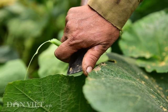 Cặp chị em trồng rau bí, bỏ túi tiền triệu mỗi ngày ở đảo hoang giữa Thủ đô - 4