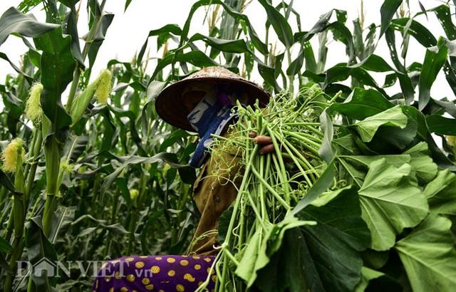 Cặp chị em trồng rau bí, bỏ túi tiền triệu mỗi ngày ở đảo hoang giữa Thủ đô - 5