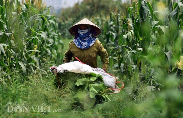 Cặp chị em trồng rau bí, bỏ túi tiền triệu mỗi ngày ở đảo hoang giữa Thủ đô - 6