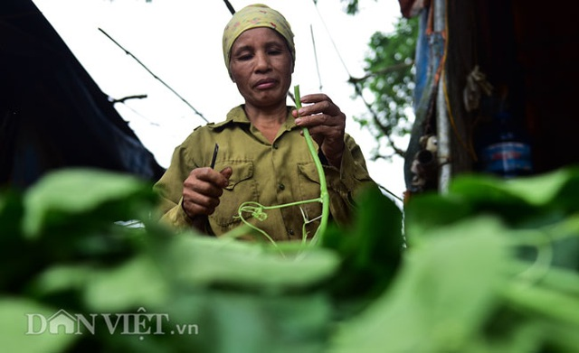 Cặp chị em trồng rau bí, bỏ túi tiền triệu mỗi ngày ở đảo hoang giữa Thủ đô - 8