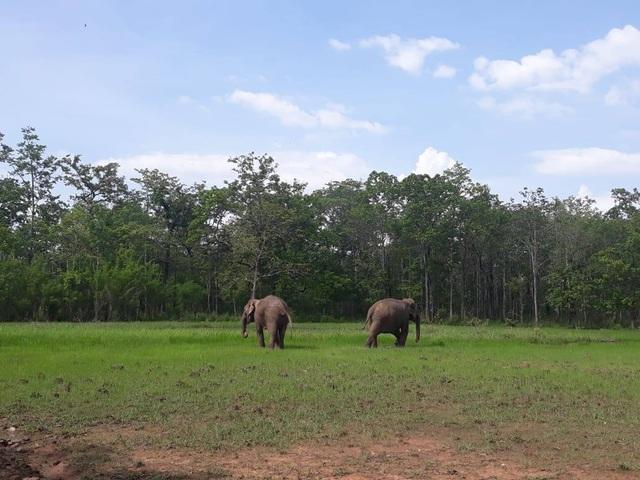 Trả tự do cho 2 chú voi nhà ở Đắk Lắk - 1