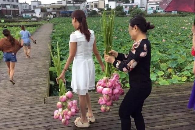 Khách trèo rào hái trụi hoa sen, công viên Trung Quốc buộc phải đóng cửa - 1