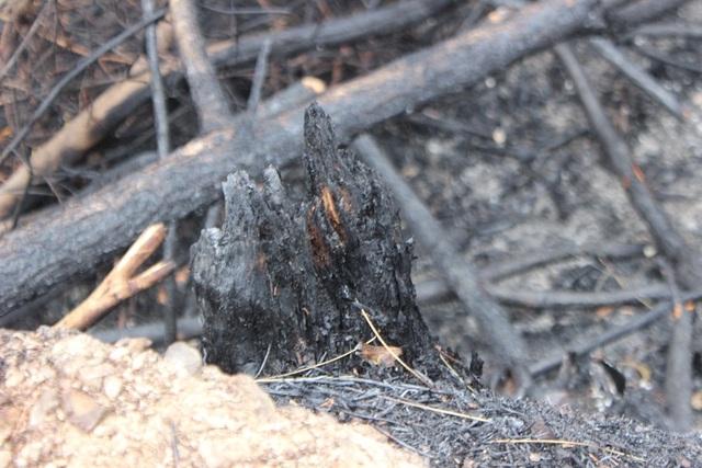 Chỉ 30% diện tích rừng bị cháy ở Nghi Xuân có khả năng phục hồi - 5