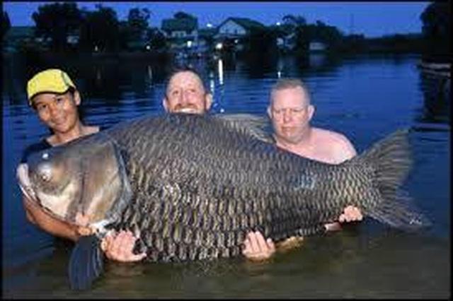 """Vật lộn hàng giờ để tóm gọn cá chép """"siêu khủng"""" nặng 105 kg - 1"""