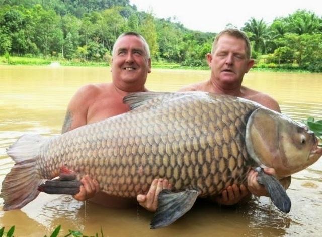 """Vật lộn hàng giờ để tóm gọn cá chép """"siêu khủng"""" nặng 105 kg - 2"""