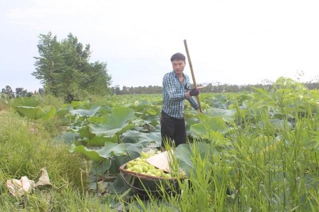 Khởi nghiệp từ trồng sen - 2