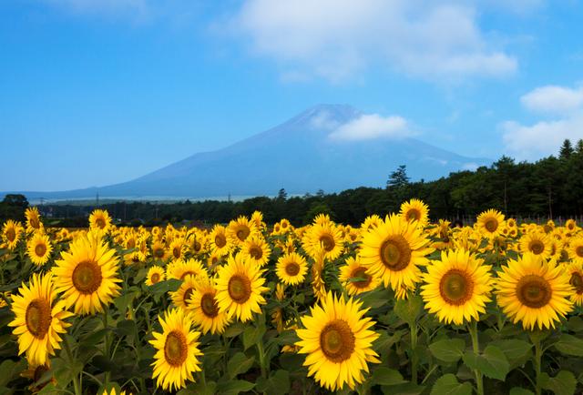 Nhật Bản rực rỡ hành trình hoa Mặt trời - 2