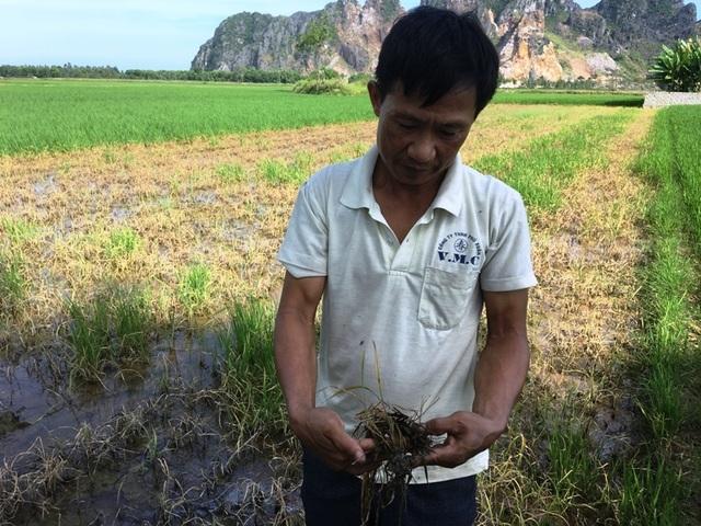 Nhiều hộ dân điêu đứng vì lúa chết sau khi phun thuốc trừ cỏ - 3