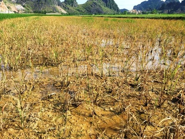 Nhiều hộ dân điêu đứng vì lúa chết sau khi phun thuốc trừ cỏ - 1