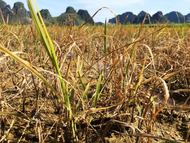 Nhiều hộ dân điêu đứng vì lúa chết sau khi phun thuốc trừ cỏ - 5