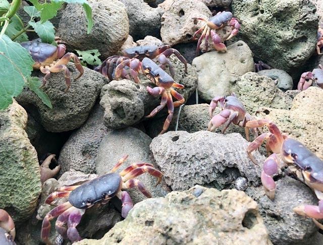 Nhanh tay, tinh mắt cầm đèn đi vạch đá săn cua đặc sản ở đảo An Bình - 11