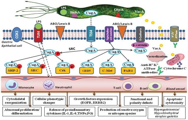 Vi khuẩn HP có gene Cag A sẽ gây ung thư dạ dày? - 3