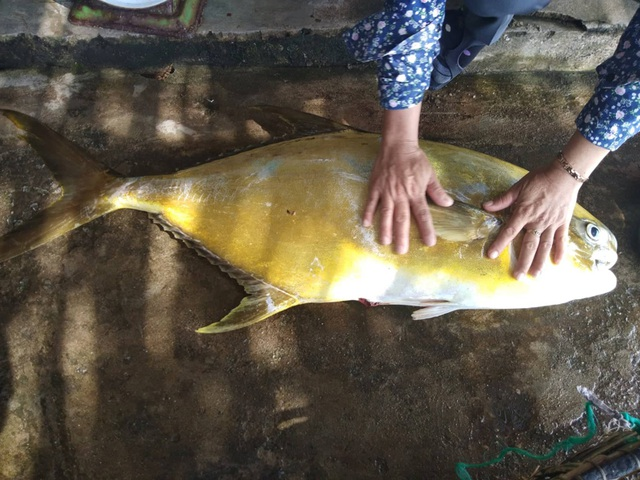 """Cá vàng dương ngon hiếm vừa cập bến, đã được mối buôn """"hốt sạch"""" - 2"""