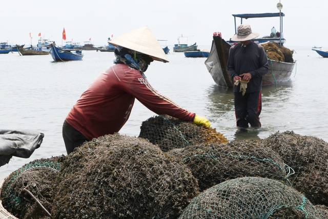 Nhọc nhằn nghề hái rong mơ ở Quảng Nam - 1