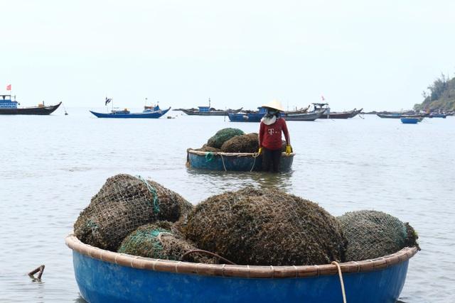 Nhọc nhằn nghề hái rong mơ ở Quảng Nam - 3