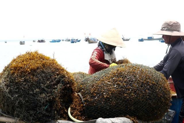 Nhọc nhằn nghề hái rong mơ ở Quảng Nam - 4