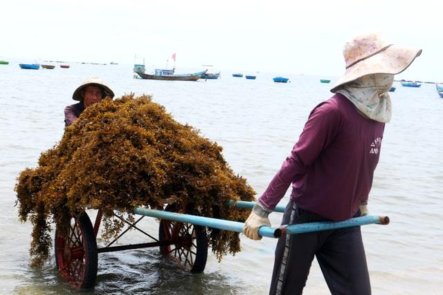 Nhọc nhằn nghề hái rong mơ ở Quảng Nam - 5