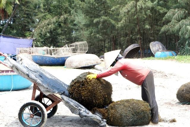 Nhọc nhằn nghề hái rong mơ ở Quảng Nam - 6